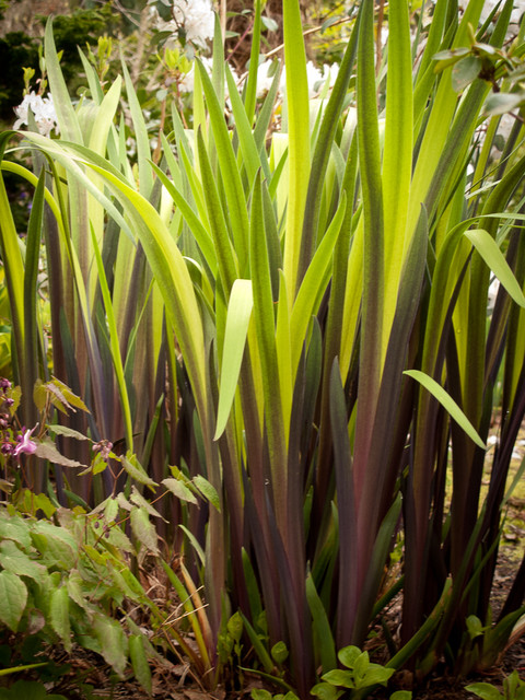 Drip Irrigation Kit Landscape Traditional with Combinations Foliage Gerald Darby Iris Iris Perennials Spring