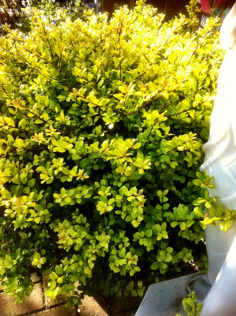 holly shrub Landscape Traditionalwith CategoryLandscapeStyleTraditional