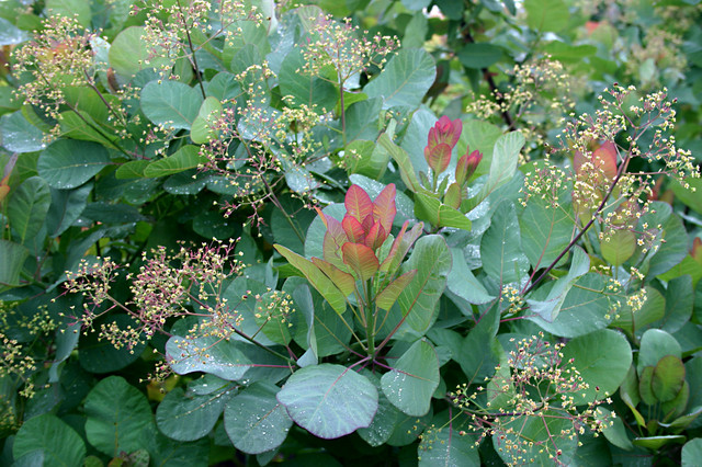 old fashioned light bulbs Landscape Traditional with Cotinus coggygria 'Old Fashioned'